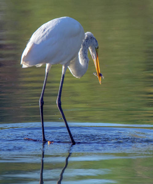 Photograph - Great Egret And Fish 6454-081619 by Tam Ryan