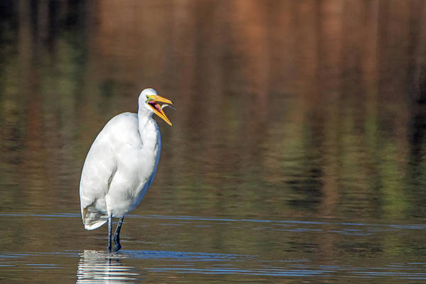 Photograph - Great Egret And Small Fish 6542-121918-1 by Tam Ryan