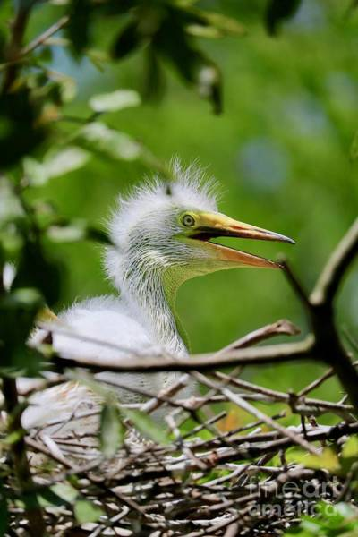 Photograph - Great Egret Baby In Nest by Carol Groenen