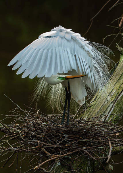 Photograph - Great Egret Beauty by Donald Brown