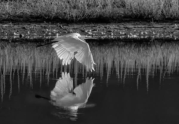Photograph - Great Egret Bw by Rick Mosher