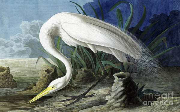 Stork Painting - Great Egret, Casmerodius Albus by John James Audubon