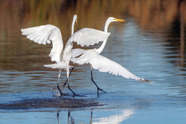 Photograph - Great Egret Chase 0724-010819 by Tam Ryan