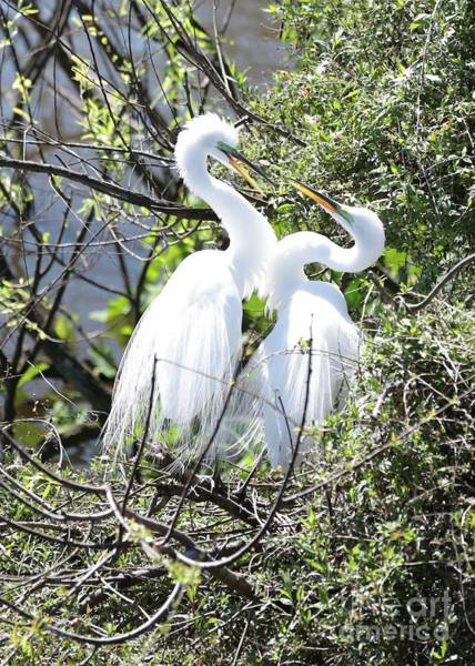 Photograph - Great Egret Couple by Carol Groenen