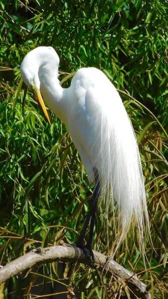 Photograph - Great Egret by Dan Miller