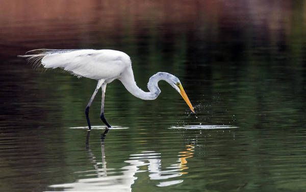 Photograph - Great Egret Fishing 2712-071219 by Tam Ryan