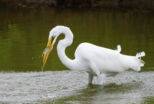 Photograph - Great Egret Fishing by Jennifer Ancker