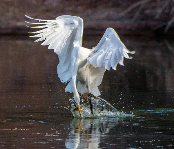 Photograph - Great Egret Fishng 7931-061719 by Tam Ryan