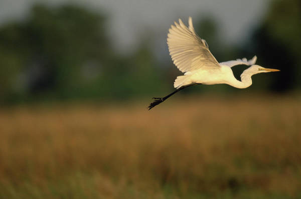 The Great Outdoors Photograph - Great Egret Flies Along Khwai River by Paul Souders