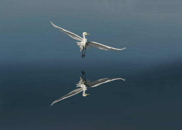 Wall Art - Photograph - Great Egret Flying With Reflection by Adam Jones