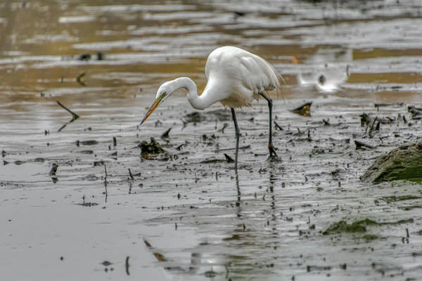 Wall Art - Photograph - Great Egret Hunting by Donald Lanham