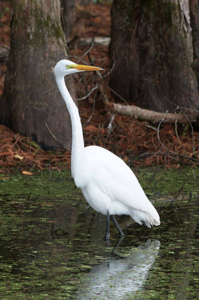 Wall Art - Photograph - Great Egret In Bayou by Paul Freidlund
