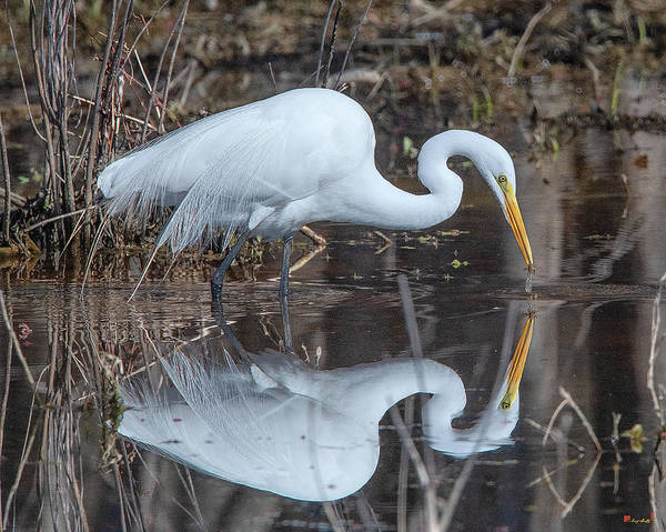 Photograph - Great Egret In Breeding Plumage Dmsb0154 by Gerry Gantt