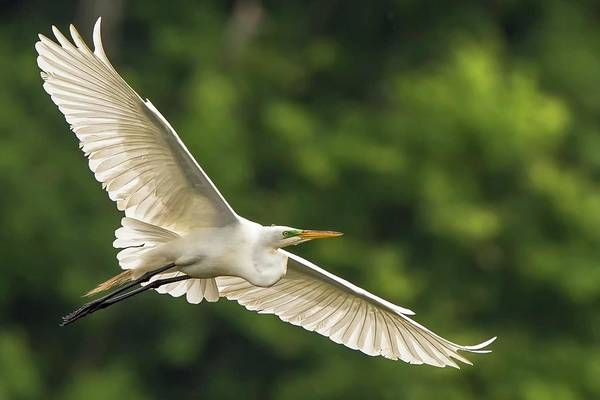 The Great Outdoors Photograph - Great Egret In Flight by D Williams Photography