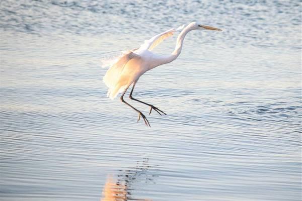 Wall Art - Photograph - Great Egret In Flight by Mary Ann Artz