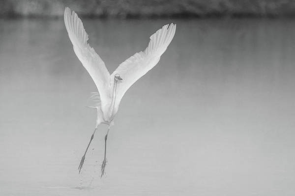 Photograph - Great Egret In The Mist 2023-012118-2 Bw by Tam Ryan