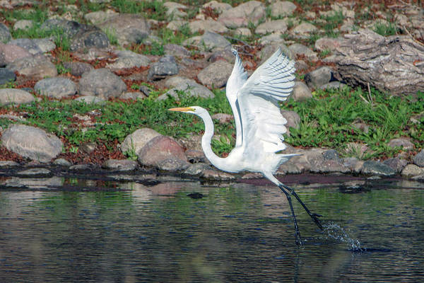 Photograph - Great Egret Liftoff 3754-020119 by Tam Ryan