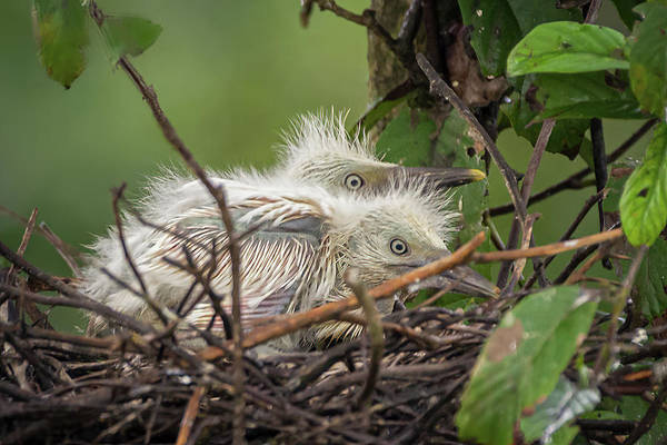 Photograph - Great Egret Nestlings Hato Barley Tauramena Casanare Colombia by Adam Rainoff