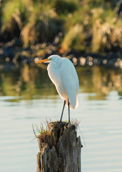 Photograph - Great Egret On A Post by Loree Johnson