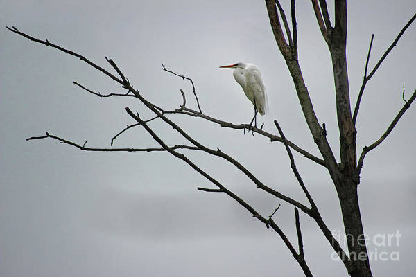 Photograph - Great Egret On High by Karen Adams