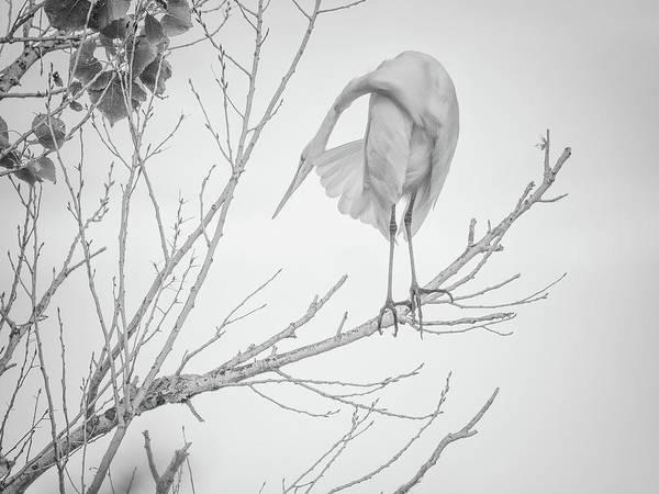 Photograph - Great Egret Preening 5112-102218-2cr-bw by Tam Ryan