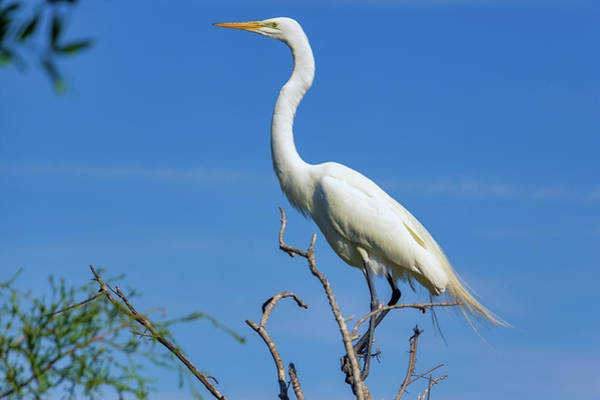 Photograph - Great Egret by Randy Bayne