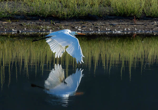 Photograph - Great Egret by Rick Mosher
