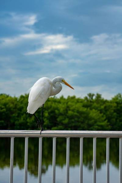 Photograph - Great Egret by Susan Rydberg