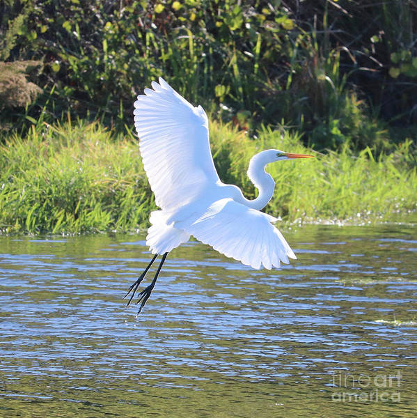 Wall Art - Photograph - Great Egret Takeoff Square by Carol Groenen