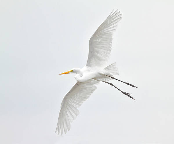The Great Outdoors Photograph - Great Egret Taking Off by Bmse