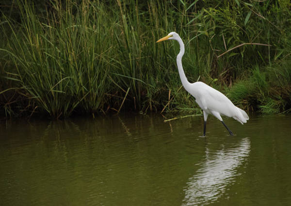 Photograph - Great Egret Walking by Jennifer Ancker