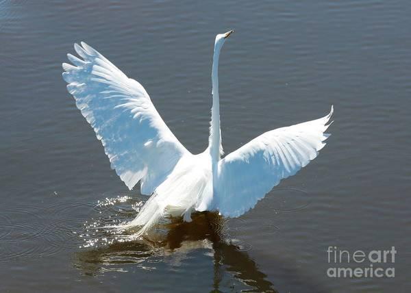 Wall Art - Photograph - Great Egret Wings In Water by Carol Groenen