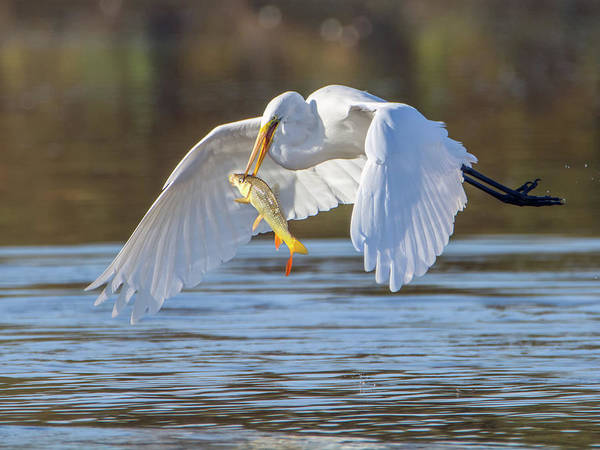 Photograph - Great Egret With Fish 1250-111818-1cr by Tam Ryan