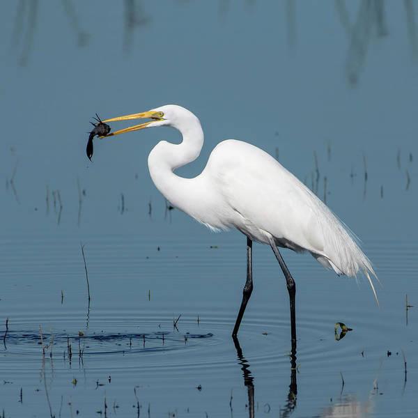 Photograph - Great Egret With Fish by Ken Stampfer