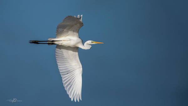 Photograph - Great Egret's Flight by Torbjorn Swenelius