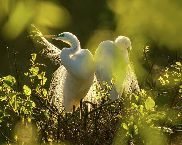 Photograph - Great Egrets In The Early Morning Sun by Judi Dressler