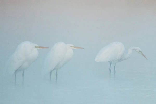 Photograph - Great Egrets In The Mist 1998-012118-3cr by Tam Ryan