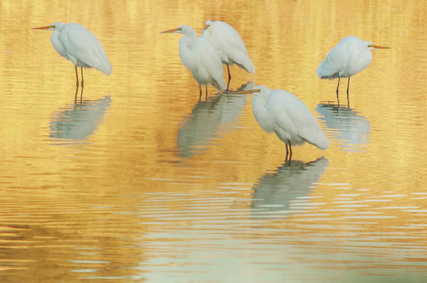 Photograph - Great Egrets On Golden Pond 5005-112813-7e-cr by Tam Ryan
