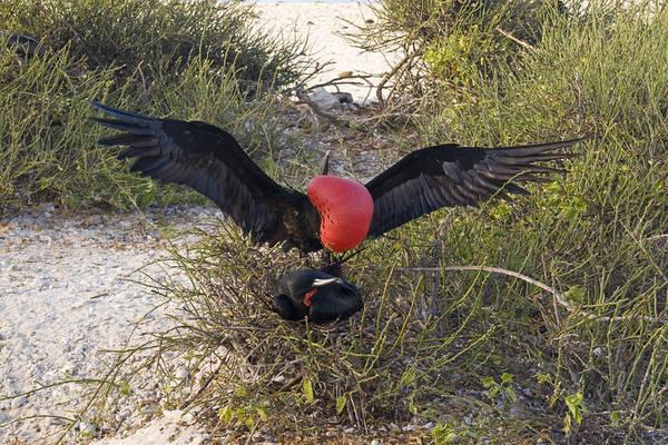 Gular Photograph - Great Frigatebird by David Hosking
