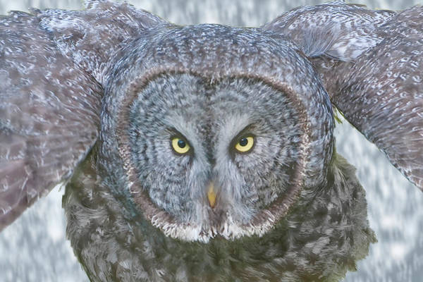 Photograph - Great Gray Owl In Falling Snow by Mark Miller