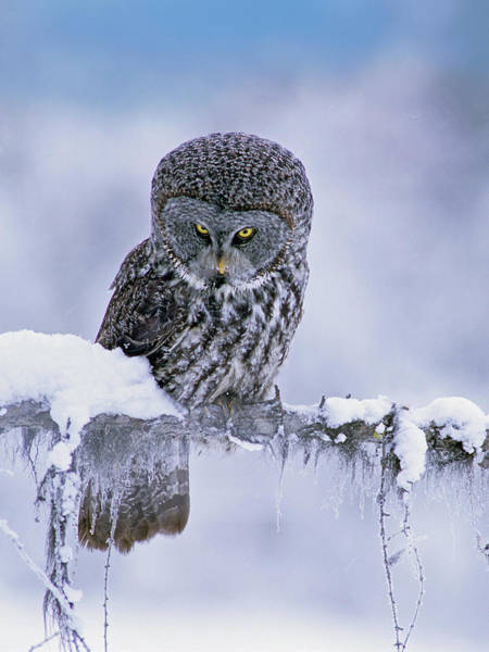 Wall Art - Photograph - Great Gray Owl In Winter, North America by Tim Fitzharris