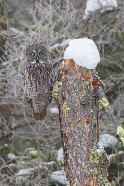 Wall Art - Photograph - Great Gray Owl Sax Zim Bog by Paul Schultz