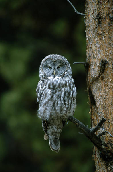 The Great Outdoors Photograph - Great Gray Owl Strix Nebulosa On Perch by Riccardo Savi