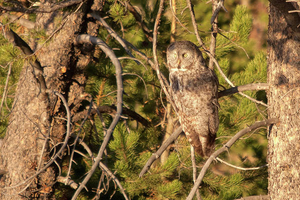 Photograph - Great Grey Owl Perched by Steve Stuller