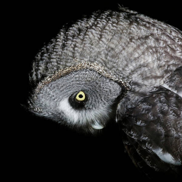 The Great Outdoors Photograph - Great Grey Owl Strix Nebulosa, Close-up by Roine Magnusson