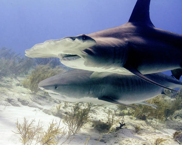 Wall Art - Photograph - Great Hammerhead Shark And Tiger Shark by Brent Barnes