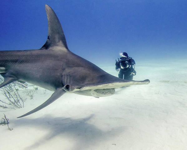 Wall Art - Photograph - Great Hammerhead Shark by Brent Barnes