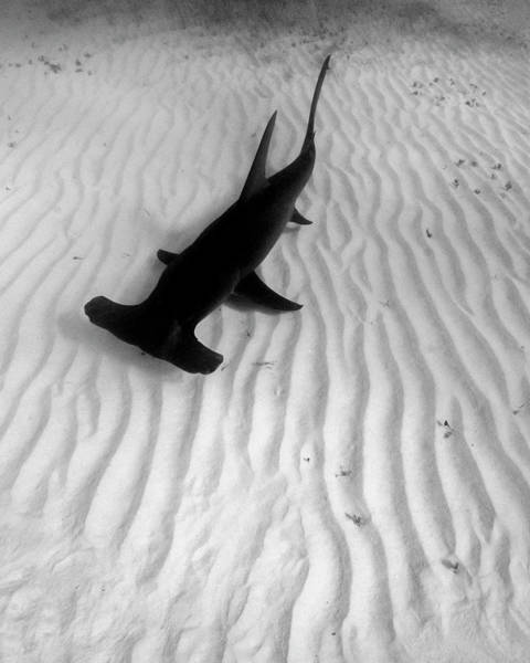 Wall Art - Photograph - Great Hammerhead Shark Over Rippled by Brent Barnes