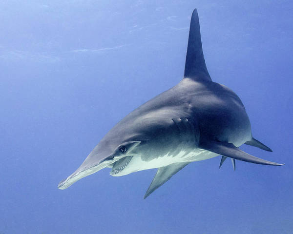 Wall Art - Photograph - Great Hammerhead Shark Turning, Tiger by Brent Barnes