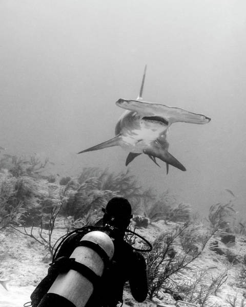 Wall Art - Photograph - Great Hammerhead Shark With Diver by Brent Barnes